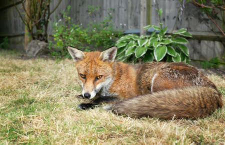 Close up of a Red fox lying on grass in the garden, summer in UK.