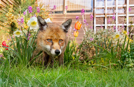 Close up of a red fox (Vulpes vulpes) standing on green grass among spring flowers, United Kingdom.