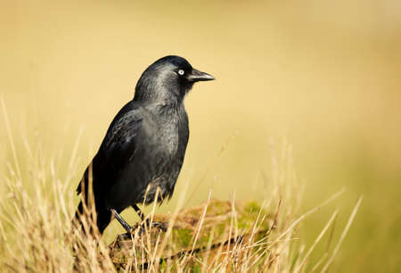 Close up of a Jackdaw perching on a wooden post against yellow background, UK. Stock fotó