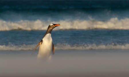 Close up of a Gentoo penguin on a sandy beach, Falkland Islands.