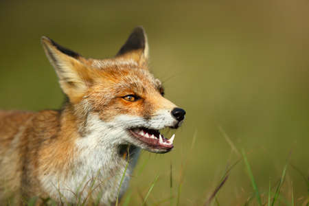Close up of a red fox (Vulpes vulpes) against green background.