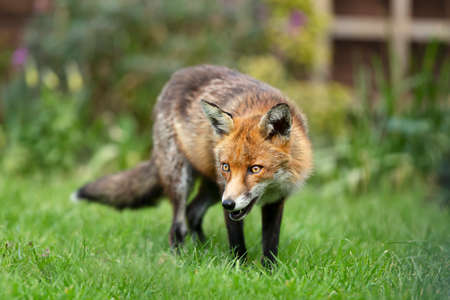 Close up of a red fox (Vulpes vulpes) standing on grass against green background, UK. Stock Photo