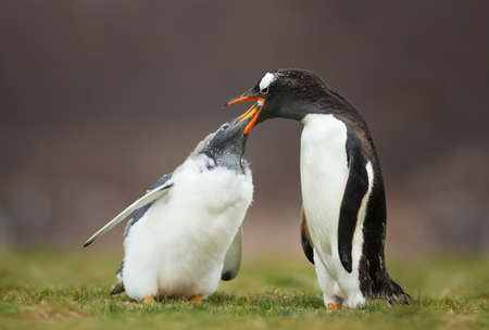 Close up of a Gentoo penguin feeding a molting chick with regurgitated food, Falkland Islands. Stock Photo