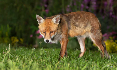 Close up of a red fox (Vulpes vulpes) standing on green grass, UK. Stock Photo