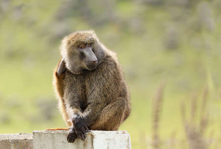 Close up of an olive baboon sitting on a concrete post, Ethiopia. Stock Photo