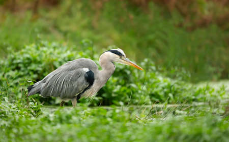 Close-up of a grey heron (Ardea cinerea) fishing in a pond, UK.