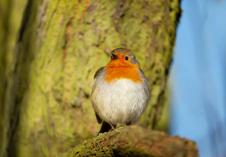 Close up of a garden bird European Robin (Erithacus rubecula) perched on a tree with puffed up feathers, UK.