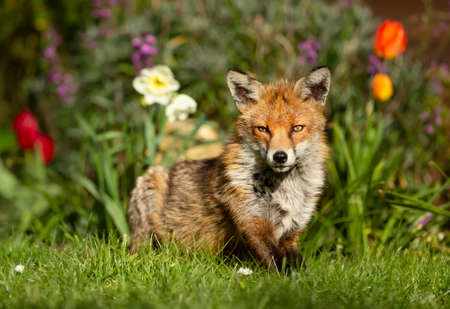 Close up of a red fox (Vulpes vulpes) on grass against background with flowers, UK.