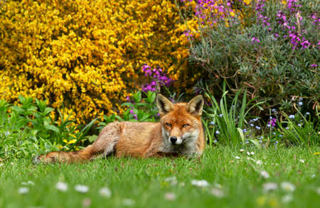 Close up of a red fox (Vulpes vulpes) lying on a green grass with flowers and yellow flowering shrub at the background, UK.