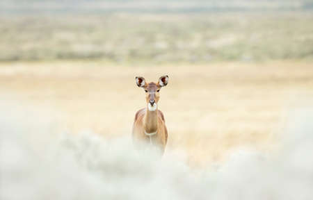 Close up of a female Mountain Nyala standing in Gaysay Grassland, Ethiopia.