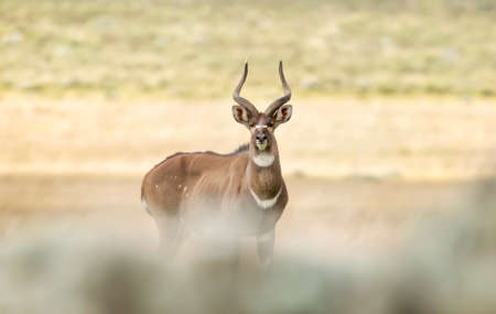 Close up of a Mountain Nyala (Tragelaphus buxtoni) standing in the grassland, Ethiopia.