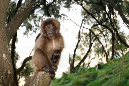 Close up of a baby Gelada monkey sitting on a tree branch, Simien mountains, Ethiopia. Stock Photo