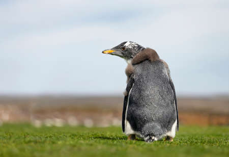 Close up of a molting Gentoo penguin chick against blue background, summer in the Falkland Islands. Stock Photo