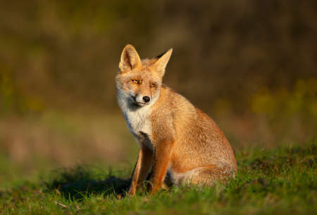 Close up of a young Red fox (Vulpes vulpes) sitting in grass.