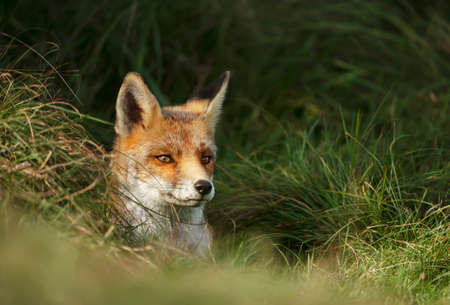 Close up of a red fox (Vulpes vulpes) poking nose from a burrowing hole in the grass field. Stock Photo