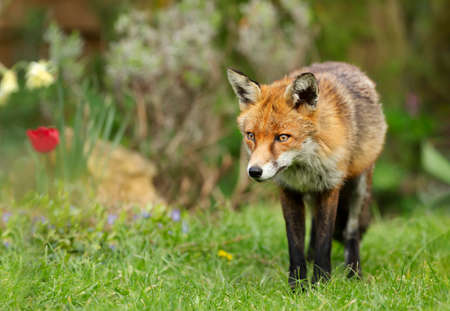 Close up of a red fox (Vulpes vulpes) standing on grass in the garden, spring in UK. Stock Photo