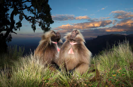 Close up of two Gelada monkeys (Theropithecus gelada) sitting on grass and dreaming, Simien mountains national park, Ethiopia.