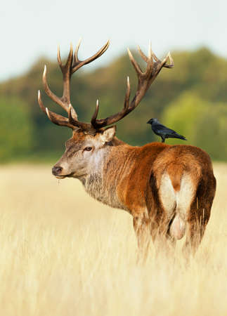 Close-up of a red deer stag with a jackdaw sitting on a back, autumn in UK.