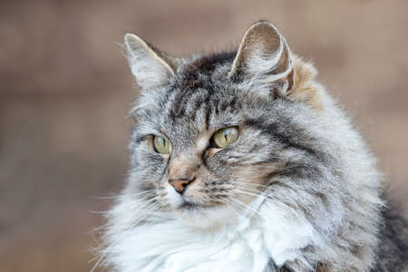 Close up of a long-haired grey domestic cat against clear background.