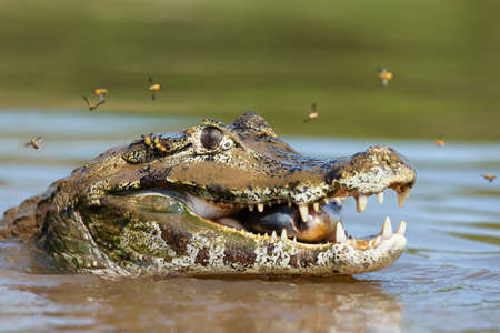 Close up of a Yacare caiman (Caiman yacare) eating piranha in a river, South Pantanal, Brazil. Stock Photo