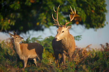 Close-up of a red deer stag with a hind during rutting season in autumn, UK. Stock Photo