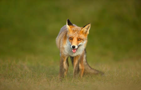 Close up of a playful Red fox (Vulpes vulpes) standing on grass. Stock Photo