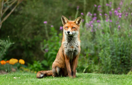 Close up of a red fox (Vulpes vulpes) sitting on green grass in a garden, UK. Stock Photo