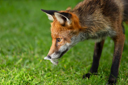 Close up of a red fox (Vulpes vulpes) with a bird feather in mouth, UK.