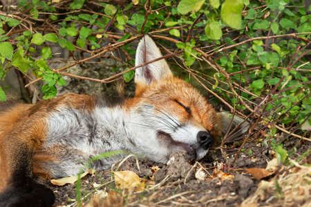 Close up of a red fox sleeping in woods, UK.