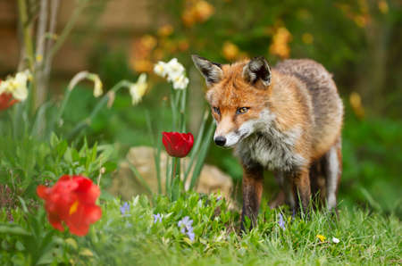 Close up of a red fox (Vulpes vulpes) in a spring garden, UK.