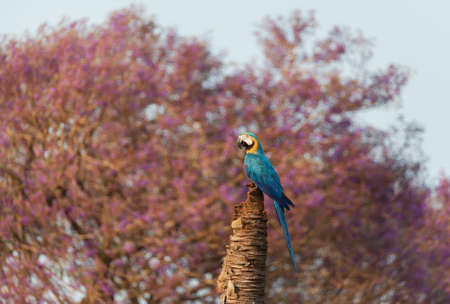 Close up of a  blue-and-yellow macaw perched in a palm tree against Jacarandas tree at the background, South Pantanal, Brazil. Stock Photo