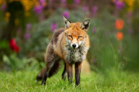 Close up of a red fox (Vulpes vulpes) standing on green grass in a garden, UK. Stock Photo