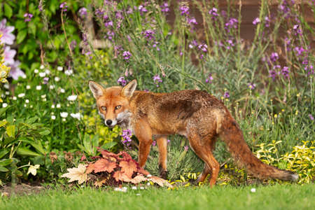 Close up of a red fox (Vulpes vulpes) standing on green grass among flowers in the garden, United Kingdom.