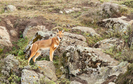 Rare and endangered Ethiopian wolf (Canis simensis) standing on rocks in Bale mountains, Ethiopia.