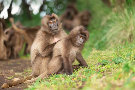 Close up of a mother Gelada monkey grooming her baby, Simien mountains, Ethiopia.