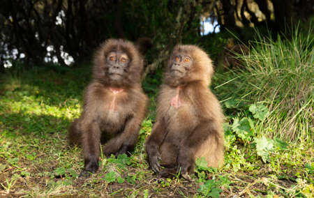 Close up of baby Gelada monkeys sitting on the ground, Simien mountains, Ethiopia.