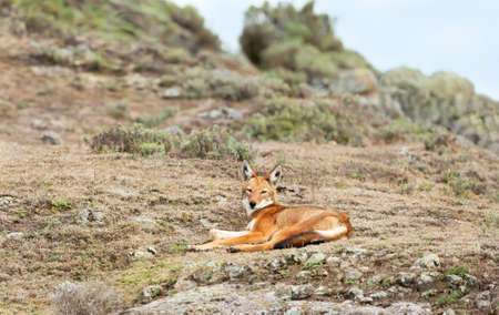 Close up of endangered Ethiopian wolf  (Canis simensis) lying in Bale mountains, Ethiopia. Stock Photo