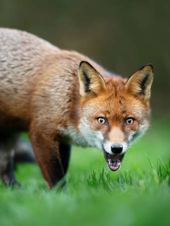 Close up of a surprised Red fox (Vulpes vulpes) standing in grass.