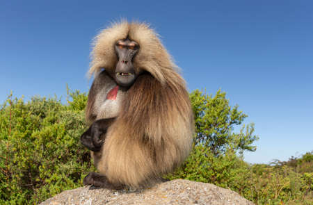 Close up of male Gelada monkey (Theropithecus gelada) sitting on a rock against blue sky, Simien mountains, Ethiopia.