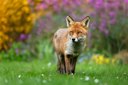 Close up of a red fox (Vulpes vulpes) standing on green grass against blooming flowers, UK.