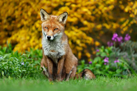 Close up of a red fox (Vulpes vulpes) sitting on green grass against blooming flowers, UK. Stock Photo