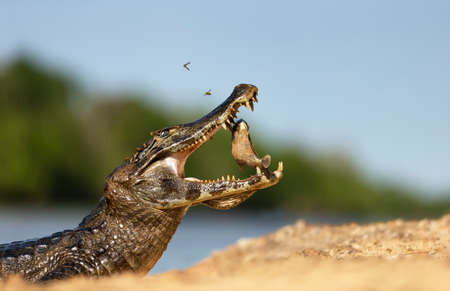 Close up of a Yacare caiman (Caiman yacare) eating piranha on a sandy river bank, South Pantanal, Brazil.