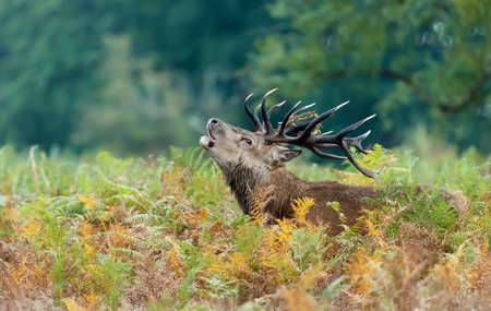 Close-up of a red deer stag calling in a field of ferns during rutting season in autumn, UK. Stock Photo