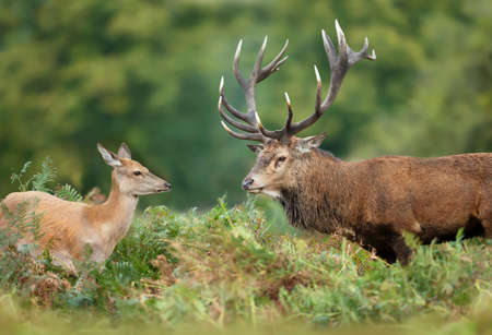 Close up of a Red deer stag standing with a hind in the field of fern. Rutting season in autumn, UK.
