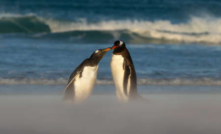 Close up of a Gentoo penguin feeding chick on a sandy beach, Falkland Islands. Stock Photo