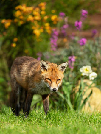 Close up of a red fox (Vulpes vulpes) standing in garden flowers, summer in UK.