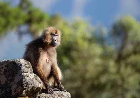 Close up of female Gelada monkey (Theropithecus gelada) sitting on a rock against blue sky in Simien mountains, Ethiopia.