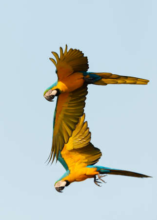 Close up of two blue-and-yellow macaws in flight, South Pantanal, Brazil.