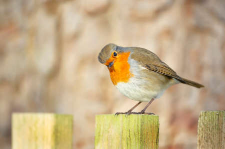 Close up of a garden bird European Robin (Erithacus rubecula) perched on the post, UK. Stock Photo