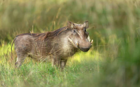 Close up of a common Warthog standing in the grass, Ethiopia.